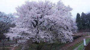 IMG_0602 樹冠回廊わきの桜