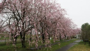 IMG_0635 管理センター隣の垂れ桜