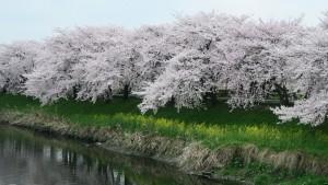 IMG_0725 清洲城大手橋上流右岸の桜並木