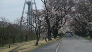 138タワー前の桜