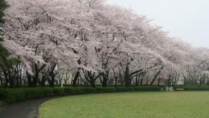 IMG_0644 大野極楽寺公園桜の園2