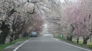 IMG_0657 極楽寺公園から光明寺公園への一方通行の堤防桜道