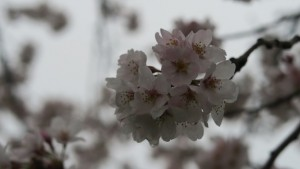 IMG_0651  大野極楽寺公園桜の園3