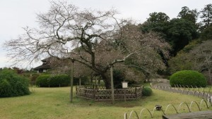 mini_IMG_1816 二季咲き桜